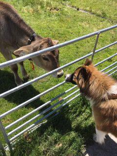 dog elodogbreed calf inlove austria
