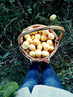 funarmenia freetoedit apricot harvest