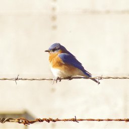birds bird nature naturephotography barbedwirefence