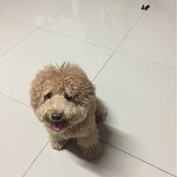smocky doggylove poddle shit puppy freetoedit