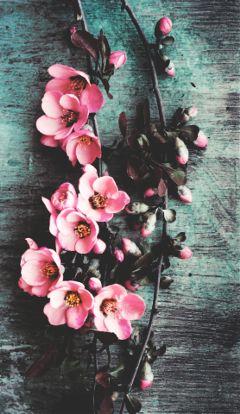freetoedit nature flowers pink vintage
