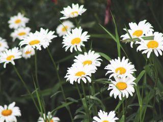 freetoedit flowers daisy