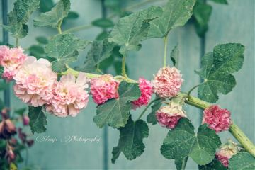 flowers blossoms blooming vine nature