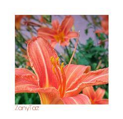 garden orange whiteframe petals flowers
