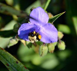 nature bee naturephotography flower pollenation