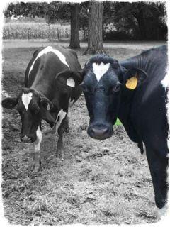 color black picsart cows freetoedit