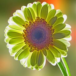 flower gerbera backlight nature