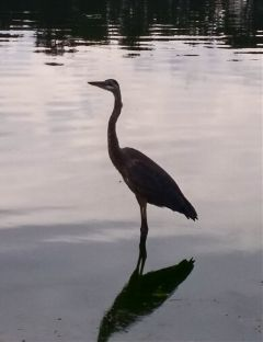 freetoedit heron bird pond myphoto