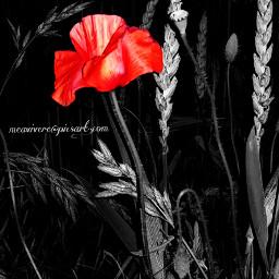 blackandwhite poppy flower floral flowers