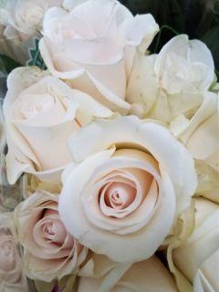delicate closeup roses noedit freetoedit