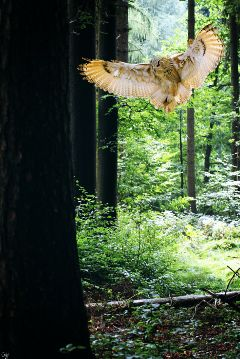 freetoedit forest owl mouse dinnertime