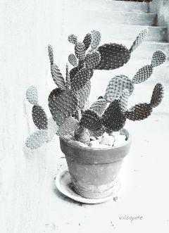 blackandwhite nature cactus