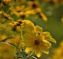 yellow wildflower nature naturephotography