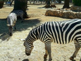 petsandanimals zebras zoosafarifasanolandia travel vacations freetoedit