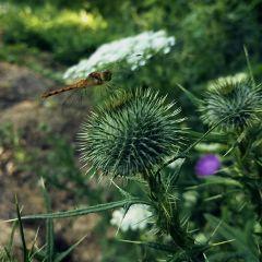 dragonfly flower nature summer freetoedit