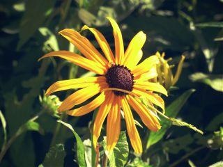 sonnenhut dodgereffect flower sunny yellow