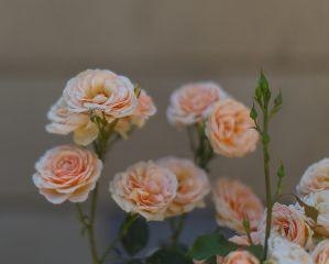 freetoedit roses natural flower