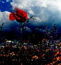 freetoedit poppie diva red endofsummer