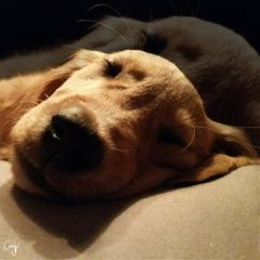 freetoedit doubleexposure puppy sleeping cute