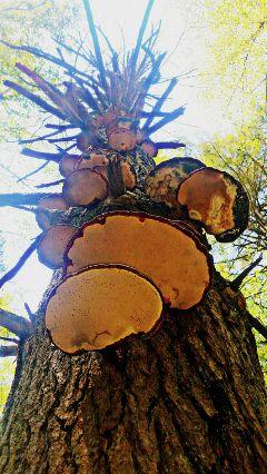 freetoedit mushroomsontree hiking nature summer