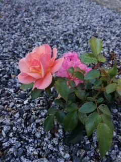 rose nofilter garden kieselsteine