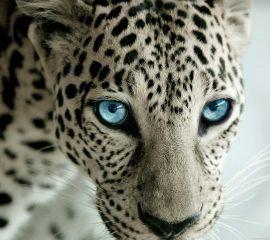 leopard freetoedit