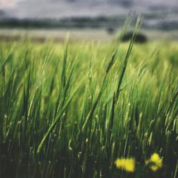 freetoedit nature green fields wind dpcfields pcgreen