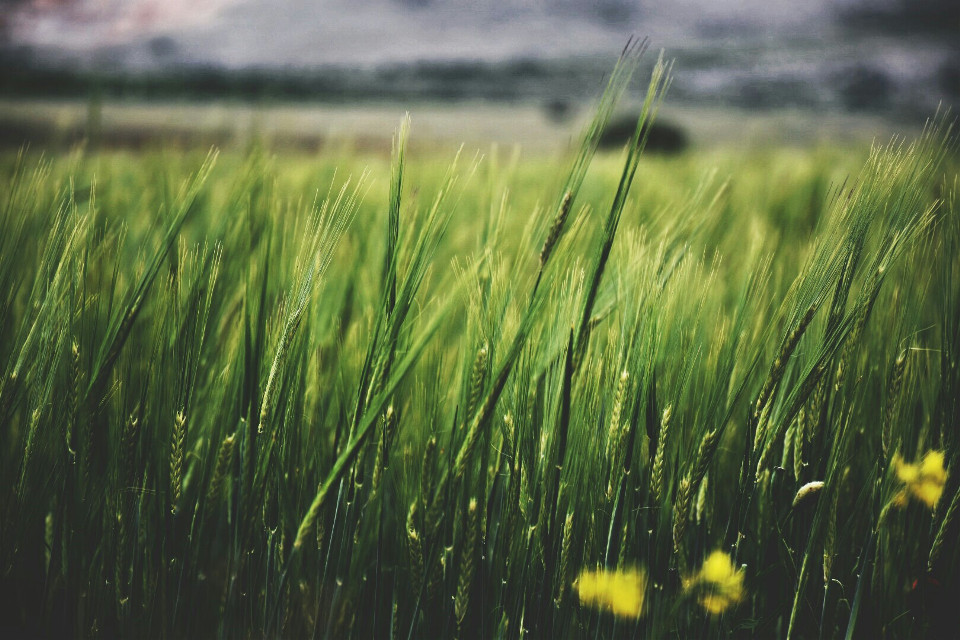 #nature #green #fields #wind #windyday #dpcfields #pcgreen