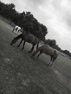 blackandwhite horses countrylife