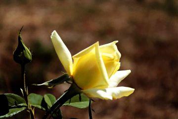 photography rose nature flower emotions freetoedit