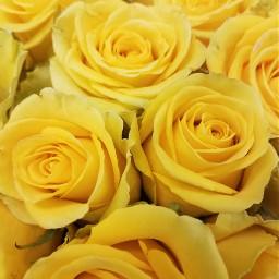 freetoedit yellowroses noedit