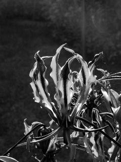 flower gloriosa blackandwhite dark komischeblume