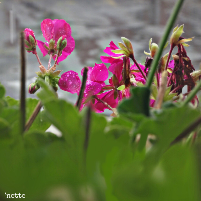 #freetoedit #rainyday #raindropsonflower #lookingthrough #myoriginalphoto