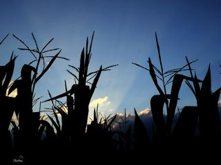 corn sunset againstthesky silhouette