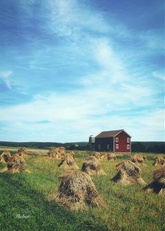 harvest grain shocks agriculture field