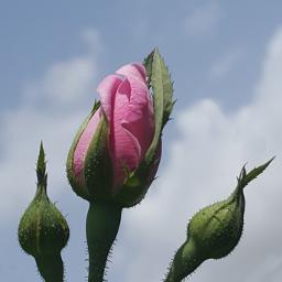 freetoedit rose photos photography pink