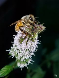 freetoedit zoom bee flower