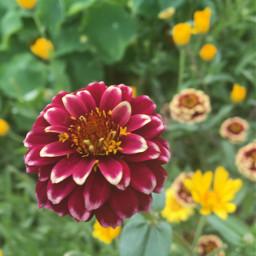 redflower