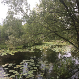 pond willowtree lilypads