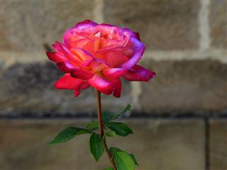 photography rose flower barcelona prayforbarcelona una freetoedit