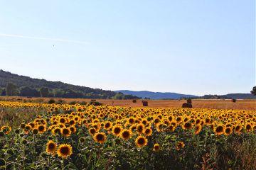 photography sunflower landscape naturephotography nature freetoedit