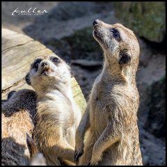 meerkats petsandanimals erdmaennchen erdmännchen germendorf