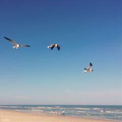 seagullsaturday assateagueisland beach atlanticocean seagullsinflight freetoedit