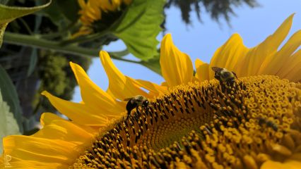 bee sunflower summer sunny