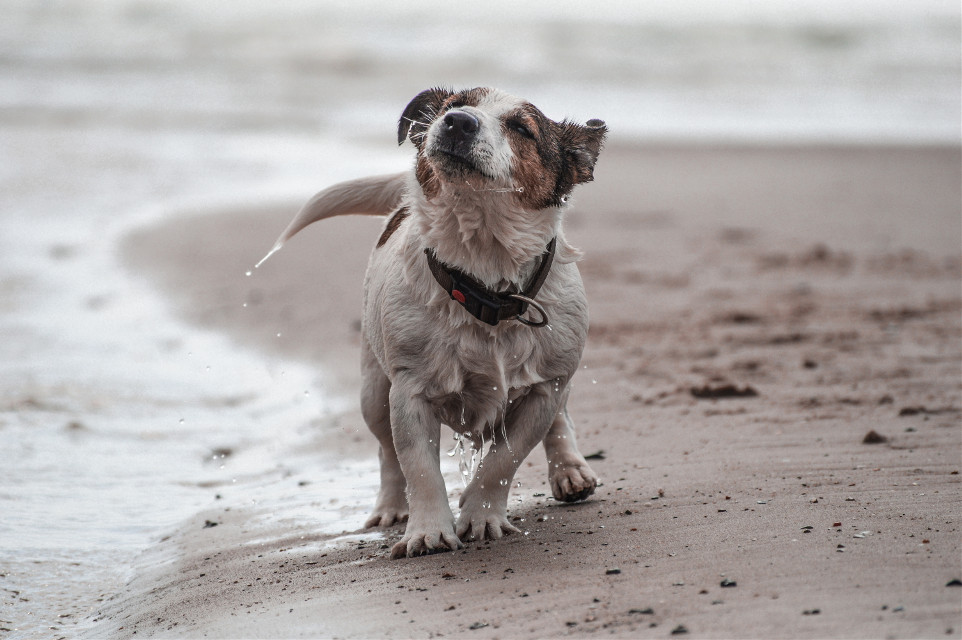 cooper in denmark! #dog #petsandanimals #cute #beach #sand #sea #water #motion #happy #photography #shaking
