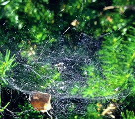 freetoedit mypic today spiderweb bush