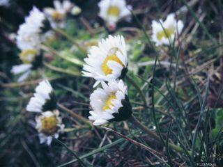 gänseblümchen daisy flower nature g