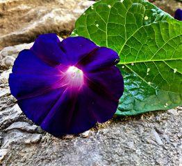 morningglory nature naturephotography flower flowerphotography