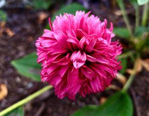 freetoedit nature flower pink myphoto