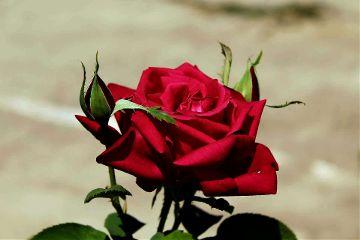 photography rose flower nature emotions freetoedit